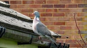 Photo of a pigeon on a roof with solar panels